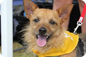 Yorkie, Yorkshire Terrier/Miniature Pinscher Mix Dog for adoption in Baton Rouge, Louisiana - Toby