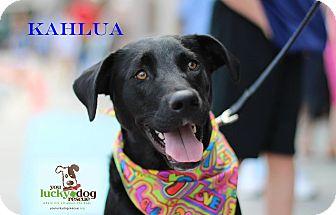 Labrador Retriever Mix Dog for adoption in Alpharetta, Georgia - Kahlua