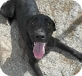Labrador Retriever Mix Dog for adoption in Silver City, New Mexico - Redrock
