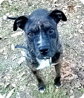 American Staffordshire Terrier/American Pit Bull Terrier Mix Dog for adoption in Houston, Texas - Sienna