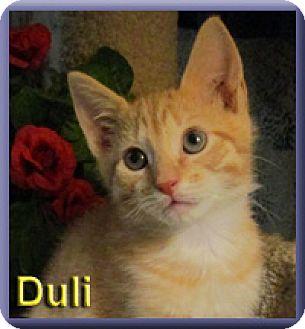 Domestic Shorthair Kitten for adoption in Aldie, Virginia - Duli