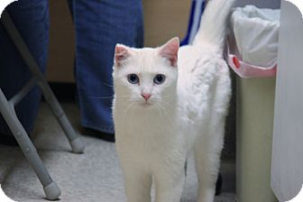 Domestic Shorthair Cat for adoption in Anoka, Minnesota - Sparkle
