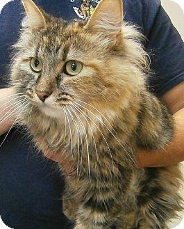 Maine Coon Cat for adoption in Cheboygan, Michigan - Juliette