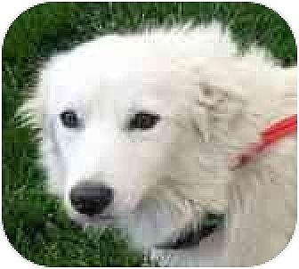 American Eskimo Dog/Spitz (Unknown Type, Medium) Mix Dog for adoption in Downey, California - Gracie