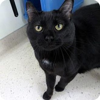 Domestic Shorthair Cat for adoption in Janesville, Wisconsin - Biscuits