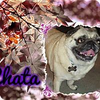 Adopt A Pet :: Chata - Walled Lake, MI