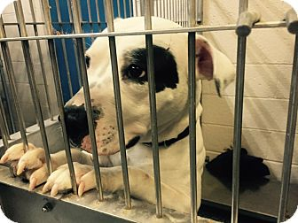 American Staffordshire Terrier Mix Dog for adoption in Warren, Michigan - Kashis