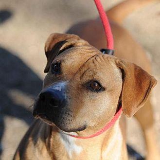 Rhodesian Ridgeback/Pit Bull Terrier Mix Dog for adoption in Clifton, Texas - Nahalia (Nalla)