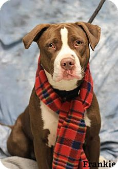 Pit Bull Terrier Mix Dog for adoption in Twin Falls, Idaho - Frankie