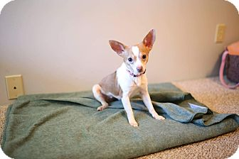 Chihuahua/Rat Terrier Mix Dog for adoption in Hamilton, Ontario - Blossom