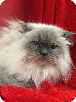 Ragdoll Cat for adoption in Nashville, Tennessee - Mia