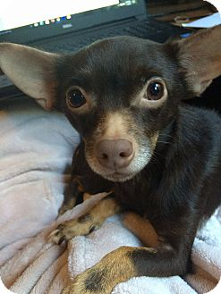 Chihuahua Mix Dog for adoption in San Antonio, Texas - Carlie
