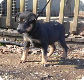 German Shepherd Dog Mix Puppy for adoption in Bedminster, New Jersey - Shadow