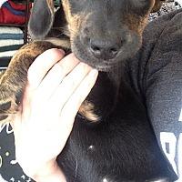 Adopt A Pet :: Gracie pup 5 - Pompton Lakes, NJ