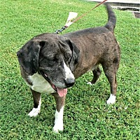 Adopt A Pet :: Bren - Rayville, LA