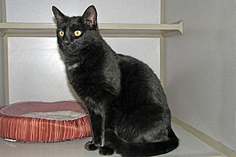 Domestic Shorthair Cat for adoption in Ruidoso, New Mexico - Midnight
