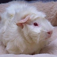 Adopt A Pet :: CASHMERE - Boston, MA