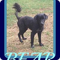 Adopt A Pet :: BEAR - New Brunswick, NJ