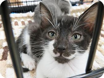 Domestic Shorthair Kitten for adoption in Ellicott City, Maryland - .Ryker