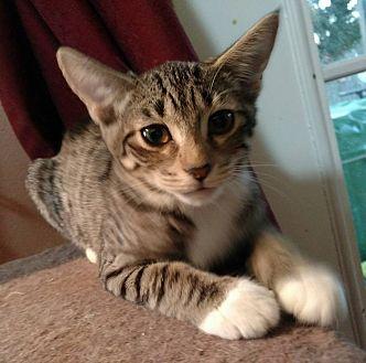 Domestic Shorthair Kitten for adoption in Jacksonville, Florida - Dixie