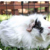 Adopt A Pet :: *Urgent* Pua - Fullerton, CA