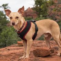 Adopt A Pet :: Theo - Sedona, AZ