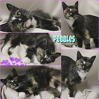 Domestic Longhair Cat for adoption in Hurricane, Utah - Pebbles