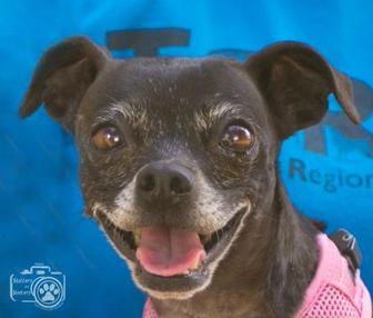 Italian Greyhound/Chihuahua Mix Dog for adoption in Divide, Colorado - Mirage