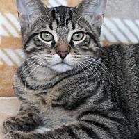 Domestic Shorthair Kitten for adoption in St Louis, Missouri - Kensi