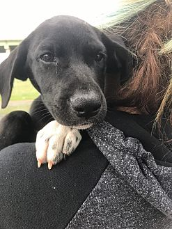 Labrador Retriever/Retriever (Unknown Type) Mix Puppy for adoption in Manchester, New Hampshire - Samantha