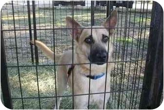 Belgian Malinois/Terrier (Unknown Type, Medium) Mix Dog for adoption in Fair Oaks Ranch, Texas - Kiki