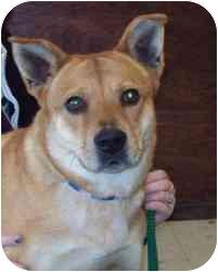 Chow Chow/Akita Mix Dog for adoption in Brazil, Indiana - Sasha