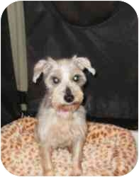 Schnauzer (Miniature) Dog for adoption in North Benton, Ohio - Misty