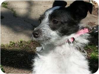 Chihuahua Mix Puppy for adoption in Centerville, Iowa - suzie
