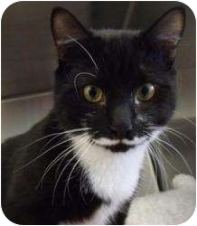 Domestic Shorthair Cat for adoption in Vineland, New Jersey - Wobbles