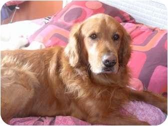 Golden Retriever Dog for adoption in Denver, Colorado - Cody