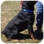 Photo 2 - Rottweiler Dog for adoption in Somerset, Pennsylvania - Chism