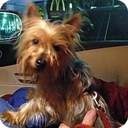 Yorkie, Yorkshire Terrier Dog for adoption in Tallahassee, Florida - Sebastian
