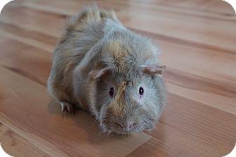 Guinea Pig for adoption in Brooklyn Park, Minnesota - Sasha