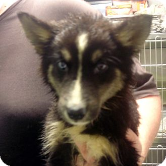 Husky/Collie Mix Puppy for adoption in Greencastle, North Carolina - Desire