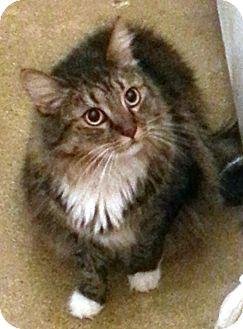 Ragdoll Cat for adoption in Arcadia, California - Sofie