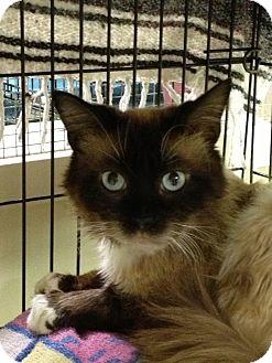 Himalayan Cat for adoption in Maple Ridge, British Columbia - Crispin