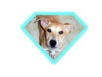German Shepherd Dog/Labrador Retriever Mix Puppy for adoption in Mayfield, New York - Wendell
