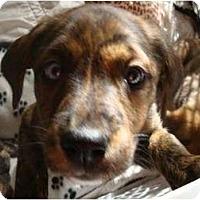 Adopt A Pet :: Arkansas - one blue eye - Phoenix, AZ