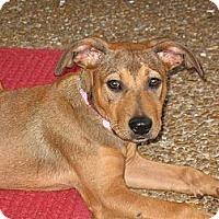 Adopt A Pet :: Belle - Albany, NY