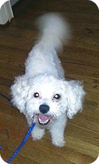 Bichon Frise Mix Dog for adoption in Atlanta, Georgia - Oscar