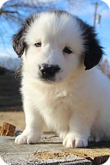 Border Collie/Shih Tzu Mix Puppy for adoption in Staunton, Virginia - Dancer