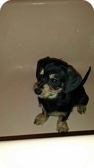 Dachshund/Pug Mix Puppy for adoption in Piscataway, New Jersey - Black & Tan