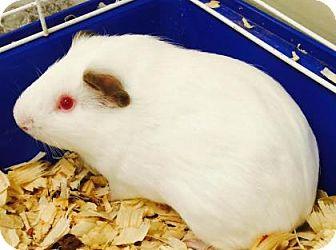 Guinea Pig for adoption in Columbus, Georgia - Harrison