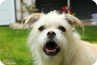Terrier (Unknown Type, Medium)/Westie, West Highland White Terrier Mix Dog for adoption in Toronto/GTA, Ontario - KIWI